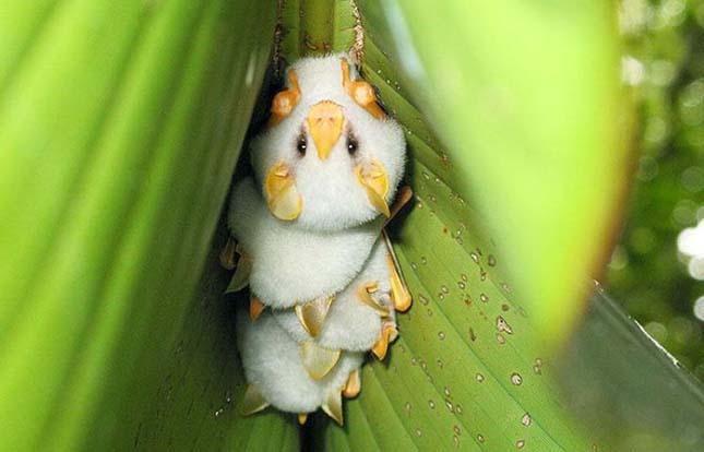 Hondurasi fehér denevér