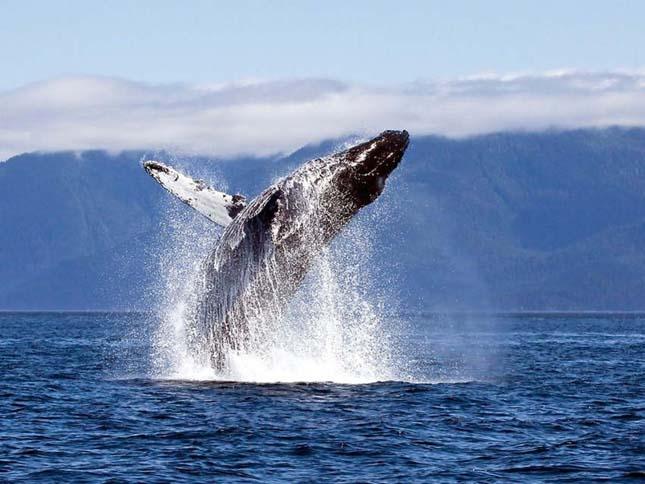 Hosszúszárnyú bálnák