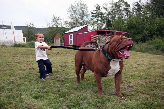Hulk, a világ legnagyobb pitbullja