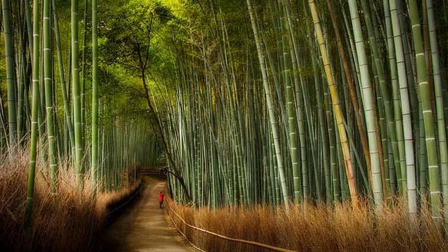 Japán bambuszerdő