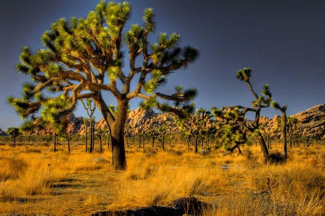 Joshua Tree Nemzeti Park