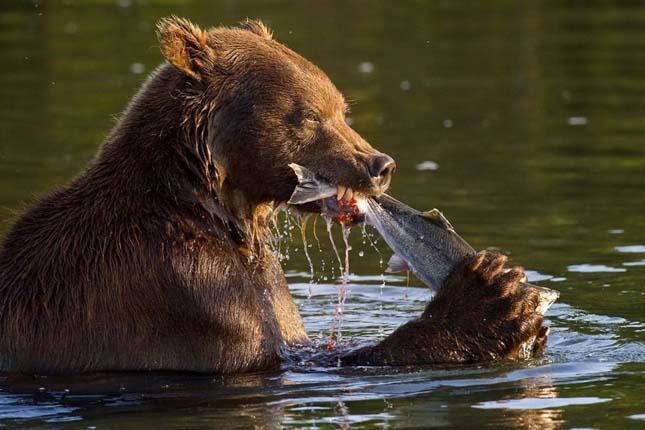 Kamcsatkai barnamedvék