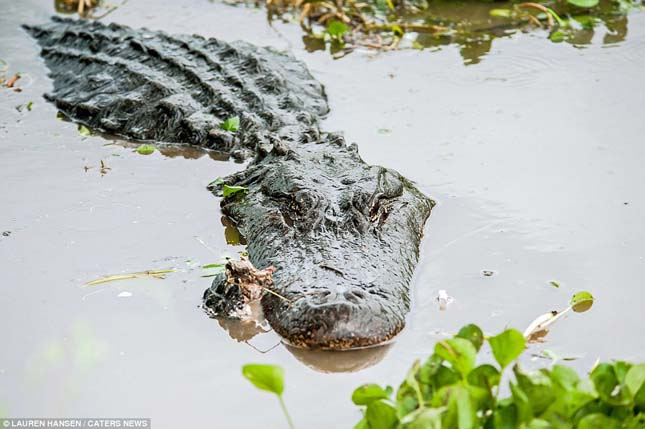 Kannibálkodó aligátorok