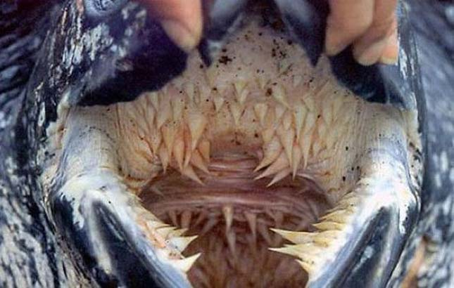 Kéregteknős szája