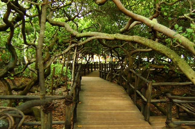 A legnagyobb területet elfoglaló fa a világon