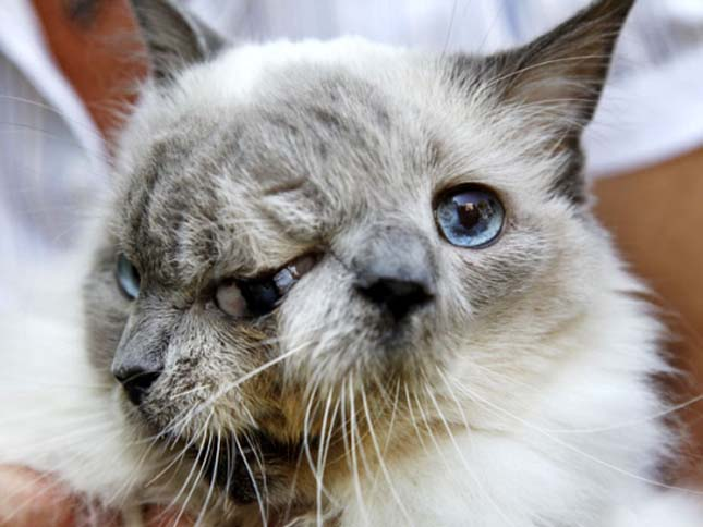 Kétarcú macska