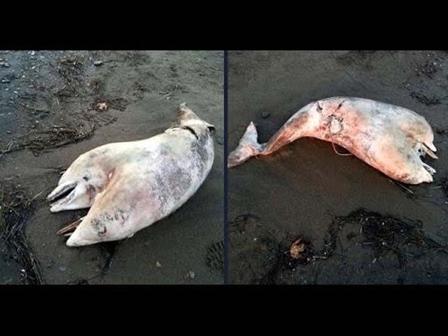 Kétfejű delfin