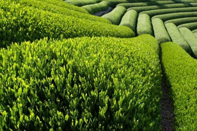 Kínai teaföld