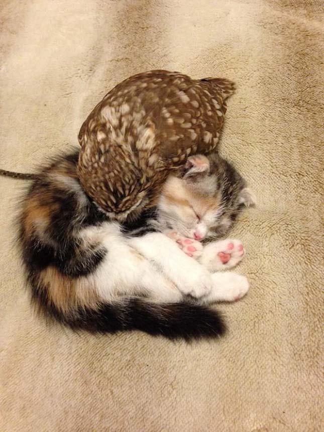 Egy bagoly és egy kiscica barátsága