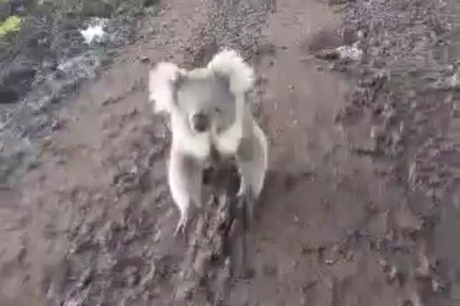 Koala üldözte a quadot