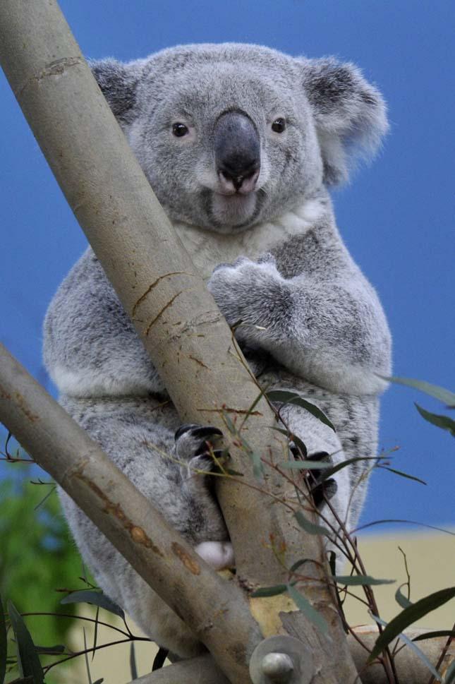 Koalák a Fővárosi Állatkertben
