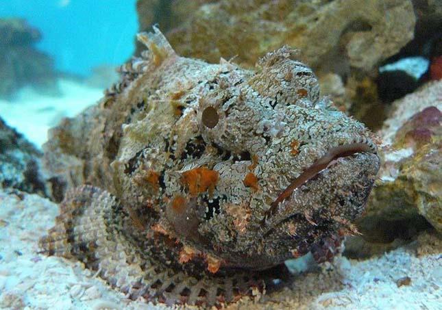 A mérgező kőhal és szerepe a gyógyításban