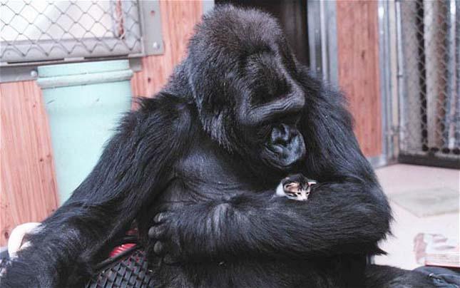 Koko gorilla