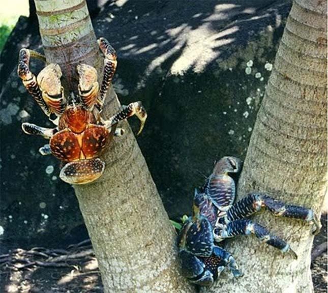 Kókuszrák