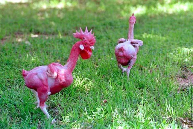 Konyhakész csirkék