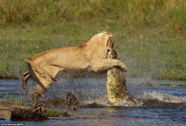 Oroszlán és krokodil