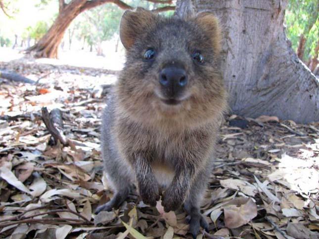 Kurtafarkú kenguru