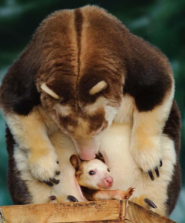 Fakúszó kenguru