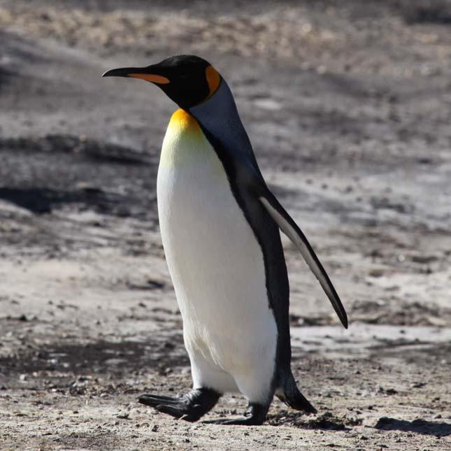 Lala, a pingvin