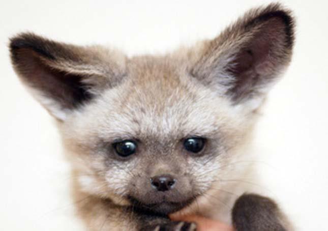 Lapátfülű róka