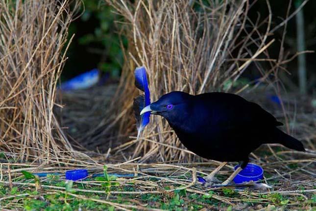 A legérdekesebb madár -Selyemmadár vagy kék lugasépítő