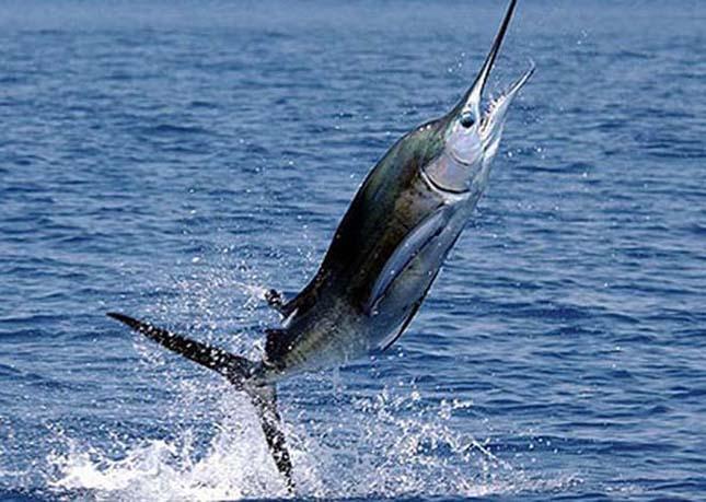 A leggyorsabb hal -Fekete nyársorrú hal