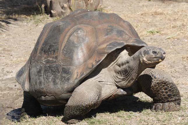 A leghosszabb életű állat -galapagosi óriásteknős
