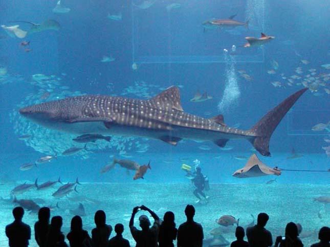 A legnagyobb hal -Cetcápa