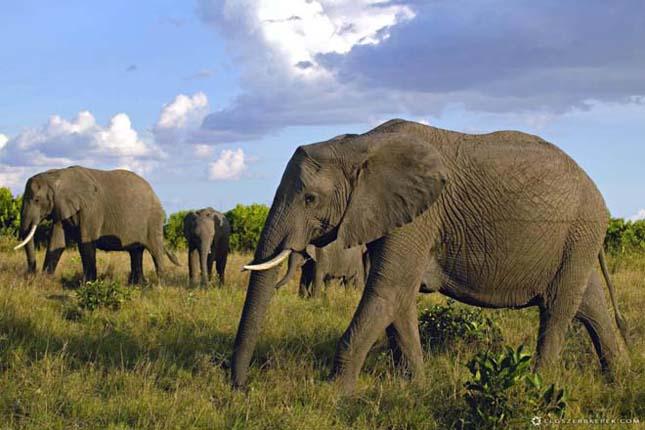 A legnagyobb tömegű szárazföldi állat -Afrikai elefánt
