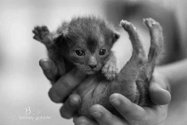 Lykoi macska