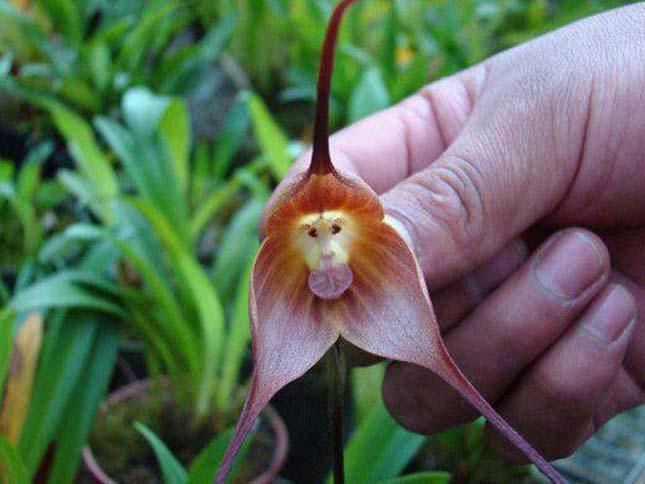 Majom Orchidea