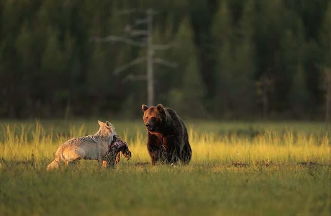Medve és farkas barátsága