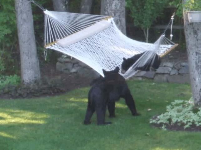 Medvék a függőágyon