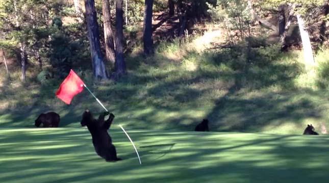 Medve a golfpályán