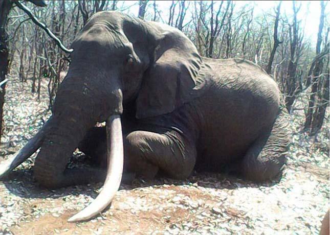 Megölték Afrika egyik legnagyobb elefántját
