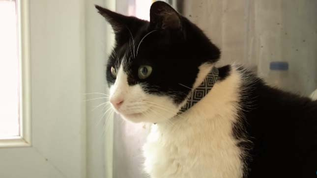 A leghangosabban doromboló cica