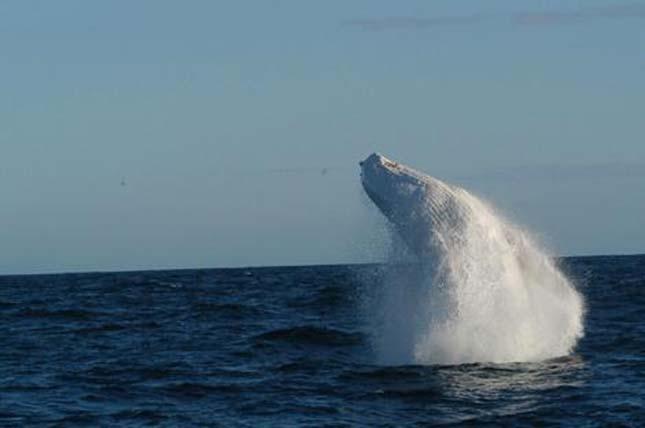 Migallo, az albínó púpos bálna