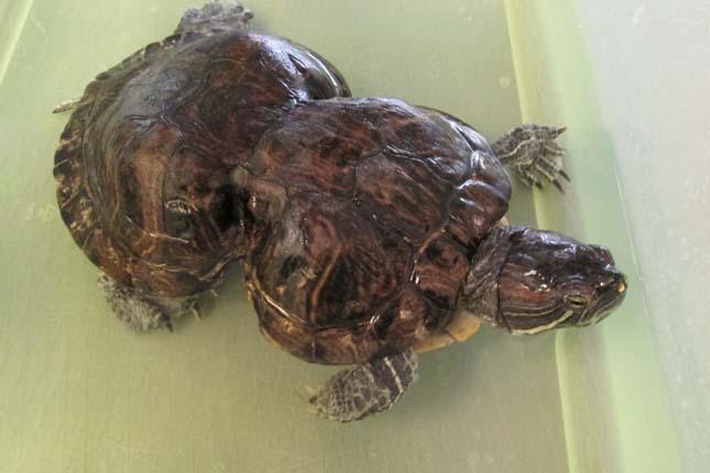 Mogyoró, a teknős