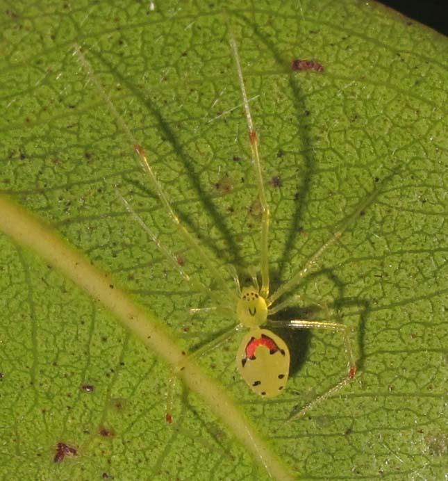 Mosolygó pók
