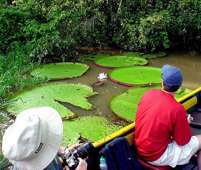 Victoria amazonica, az úszó tutaj
