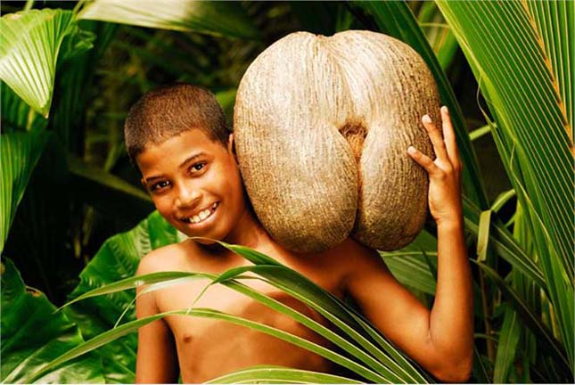 Tengeri kókusz, Coco de mer