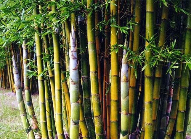 Kínai óriás bambusznád