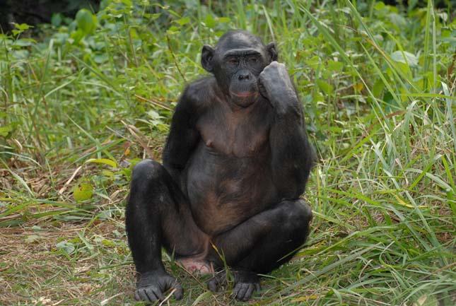 Majmokat veszélyeztetnek az olajpálma ültetvények