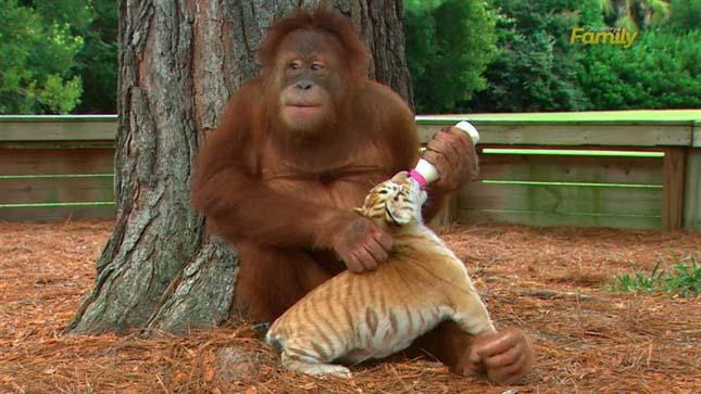 Orángután gondoskodik a tigriskölykökről