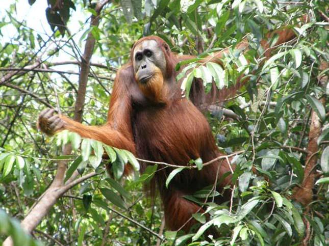 Jelentős mértékben csökkent az orángutánok száma