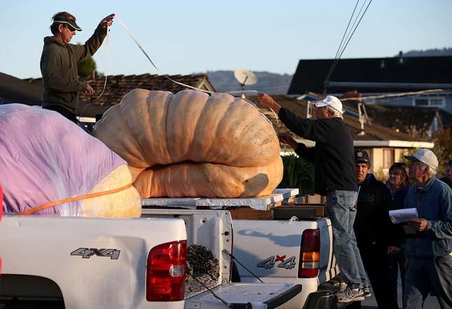 900 kilós tök
