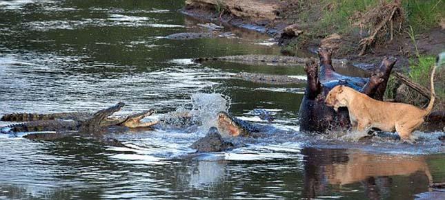 Krokodil és oroszlán harca