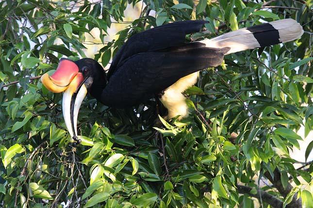 Orrszarvú madár