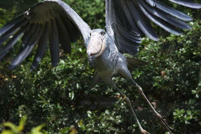 Papucscsőrű gólya