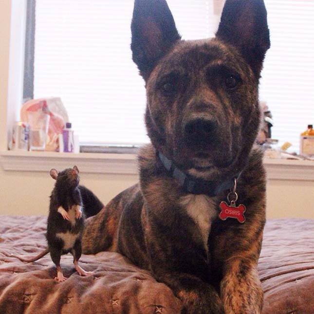 Patkány és kutya barátság